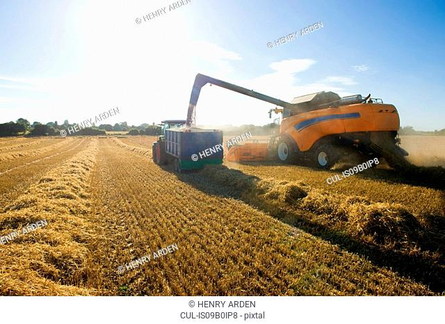 Combine harvester pouring harvested wheat into trailer in wheat field