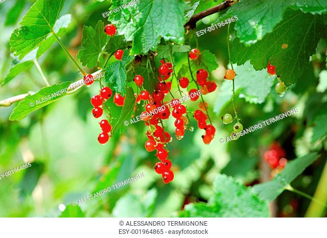 red ribes