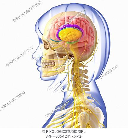 Brain anatomy, computer artwork