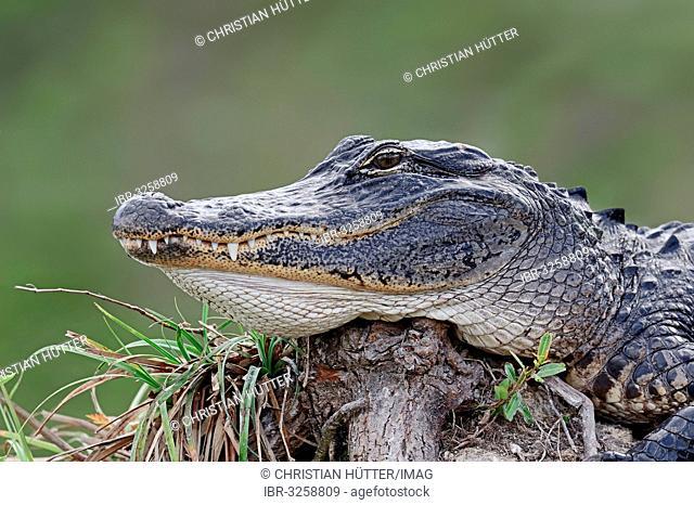 American Alligator (Alligator mississippiensis), portrait