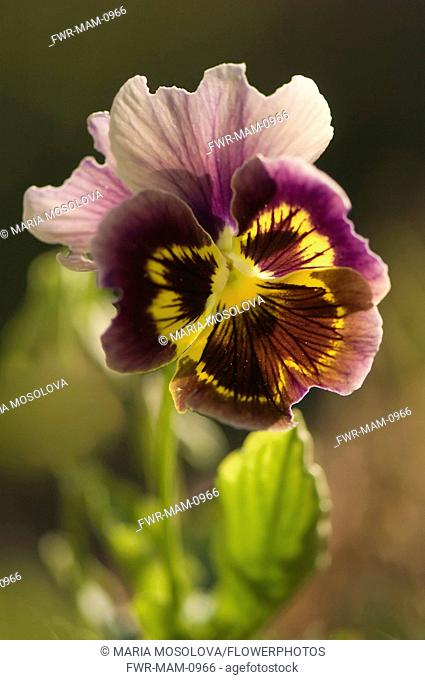 Pansy, Viola x wittrockiana. Single flower with ruffled purple-brown, veined petals extending dark to light from yellow centre