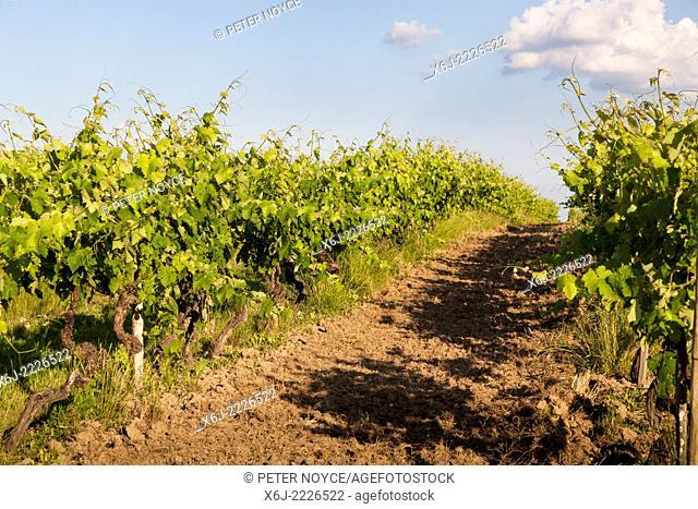 Between the rows of vines in the Borderies region of Cognac,
