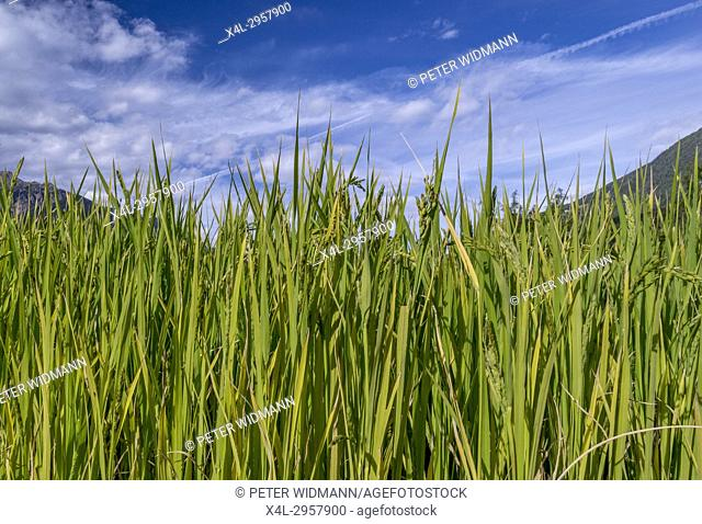 Paddy field in the Gardens of Trauttmansdorff Castle, Merano, South Tirol, Italy, Europe