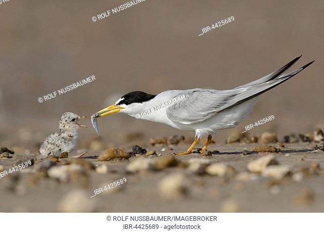 Least Terns (Sterna antillarum), adult feeding newly hatched young with fish prey, Port Isabel, Laguna Madre, South Padre Island, Texas, USA