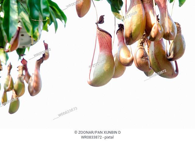 pitcher plant Nepenthe species