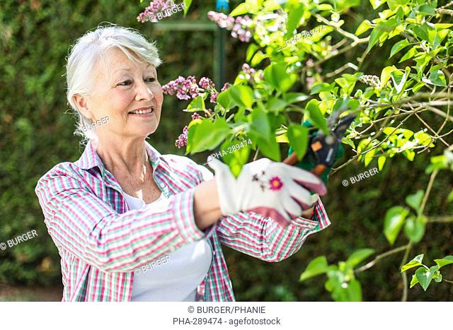 Woman cutting lilacs