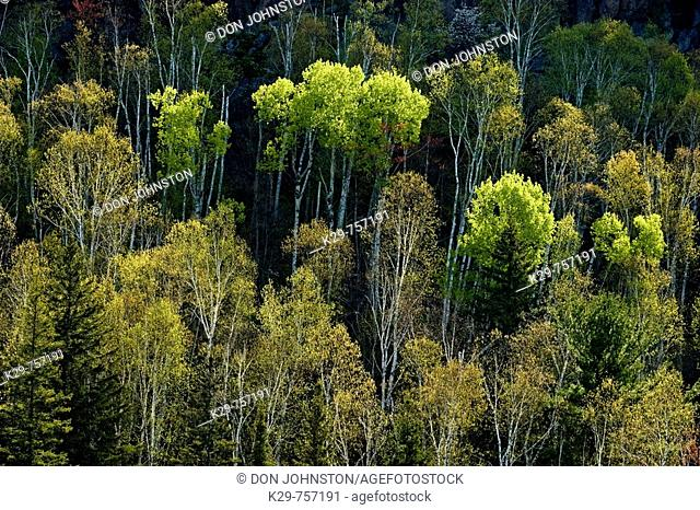 Aspens and birches with emerging foliage at base on hillside overlooking Onaping River