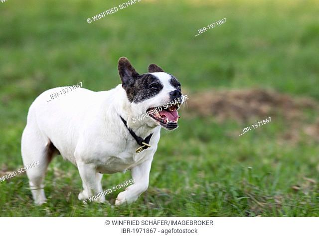 Mixed breed bitch, French Bulldog and Jack Russell Terrier, 5 years