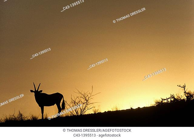 Gemsbok Oryx gazella - At dusk  Hardap Recreation Resort, Namibia