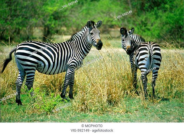 Steppenzebras auf einer Weide im Sued Luangwa Nationalpark / zebras on a meadow in South Luangwa National Park - Africa, 29/09/2006