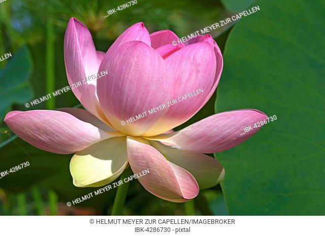 Indian lotus, also sacred lotus or bean of India (Nelumbo nucifera)