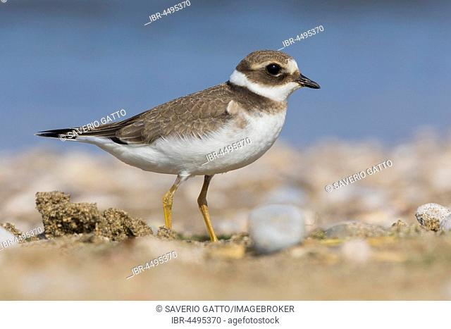 Ringed Plover (Charadrius hiaticula), juvenile standing on the ground, Salerno, Italy