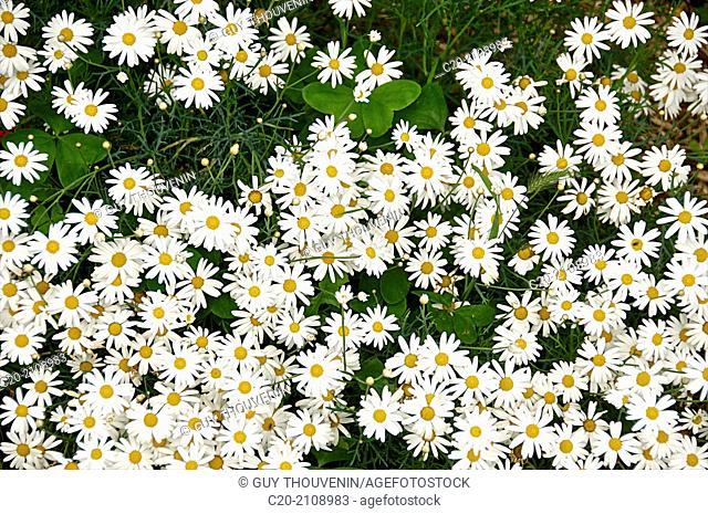 Daisies border in a garden flower bed