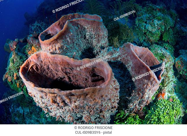 Massive sponges at unspoiled reefs, Chinchorro Banks, Quintana Roo, Mexico
