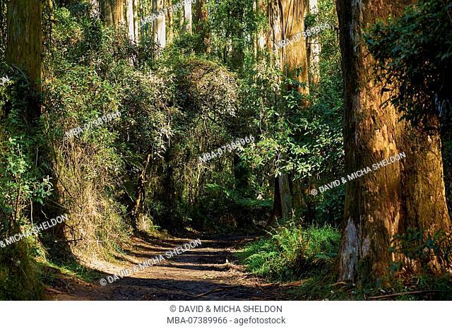 Landscape, path through the rainforest, tree fern (Dicksonia antarctica), Dandenong Ranges National Park, Melbourne, Victoria, Australia, Oceania