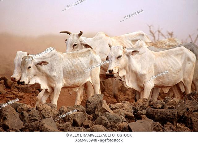 White Cattle in a Duststorm in Northern Kenya