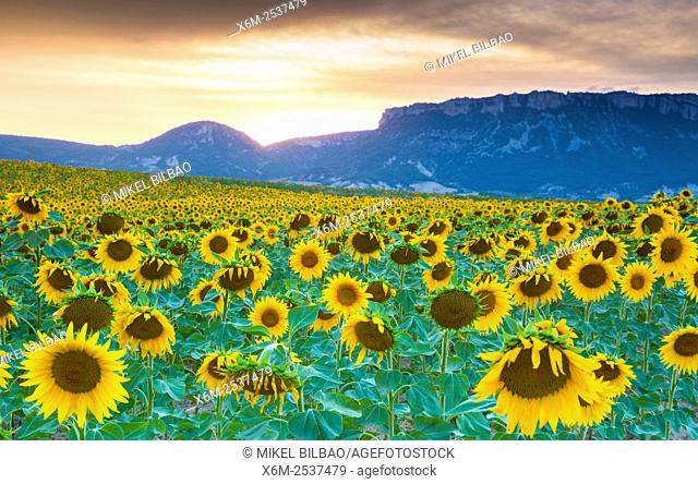 Sunflowers plantation. Arteaga village, Tierra Estella county. Navarre, Spain, Europe