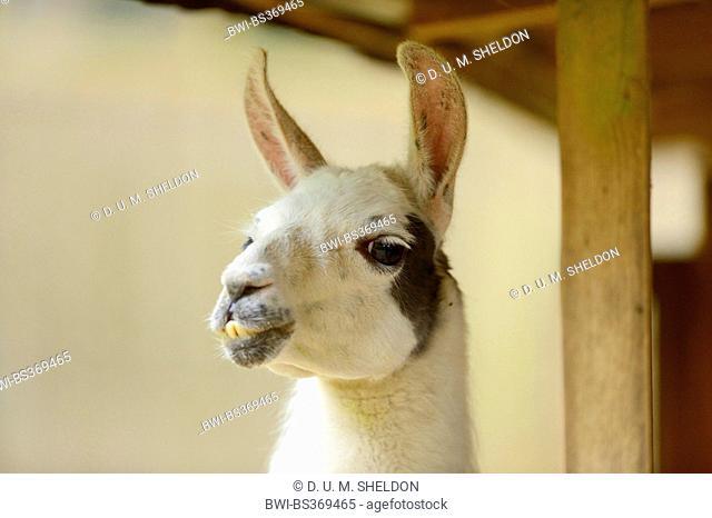 llama (Lama glama), portrait