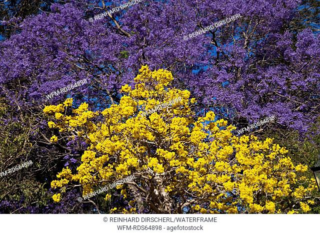 Jacaranda Tree in bloom, Jacaranda sp., Brisbane, Australia