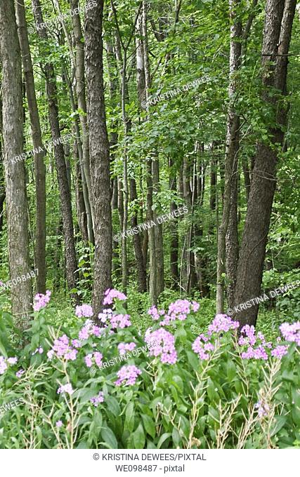 Some wild Phlox blooming in the woods