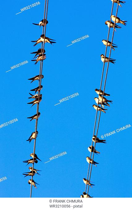 Low Angle View of Swallows on Wire against Blue Sky