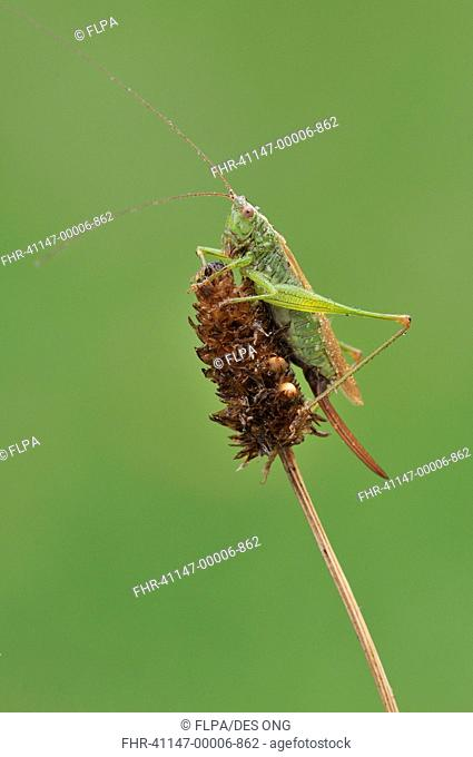 Long-winged Conehead Conocephalus discolor adult female, resting on seedhead, with raindrops after rain shower, Loughborough, Leicestershire, England, september