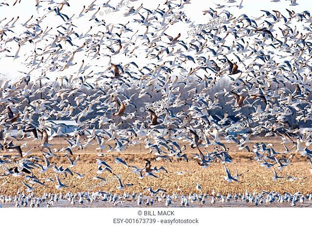 Large Flock of Seagulls