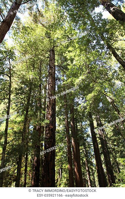 Looking up into the canopy of giant Redwood trees at Big Basin Redwoods State Park in Boulder Creek, California, USA