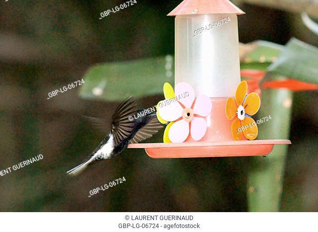Bird, Beija-flor-preto, beija-flor-preto-e-branco, Ilha do Mel, Encantadas, Paraná, Brazil