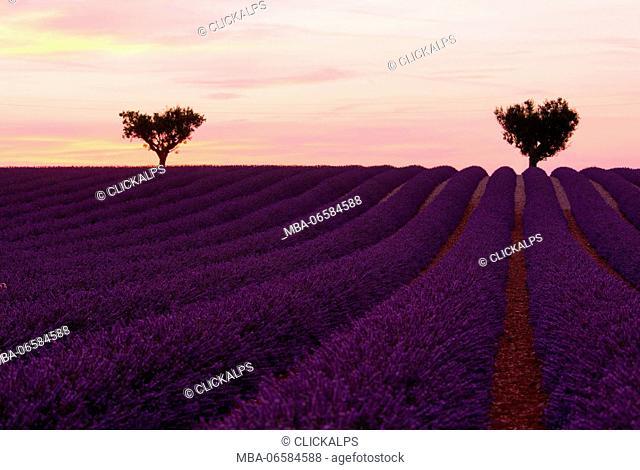 Europe, France, Provence Alpes Cote d'Azur, Plateau de Valensole
