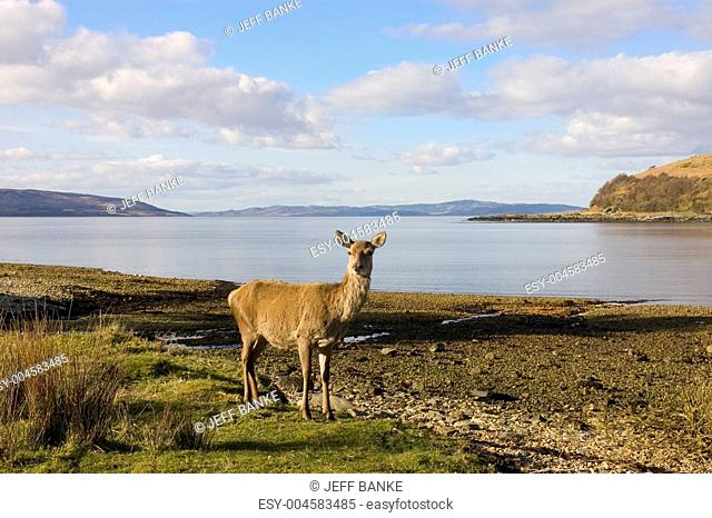 Scottish Red deer hind at the sea shore