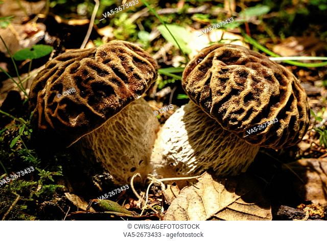 Rulang country, Tibet, China - The view of cute mushroom in the forest