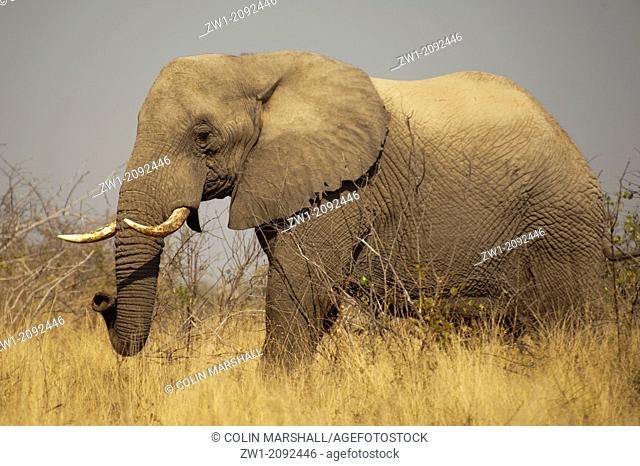 Elephant (Loxodonta africana) in grass landscape in Kruger National Park in South Africa