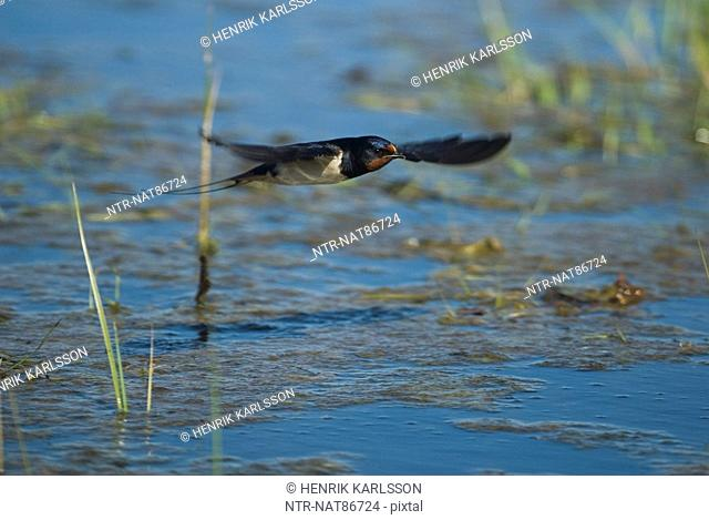 Scandinavia, Sweden, Oland, View of barn swallow bird flying, close-up