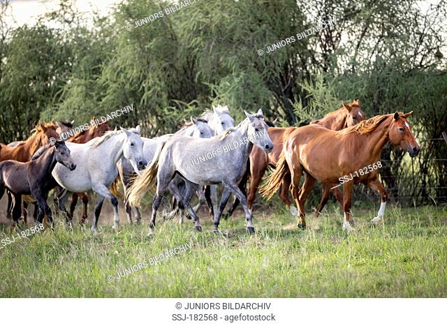 Nooitgedacht Pony. Mares with foals trotting on a pasture. South Africa