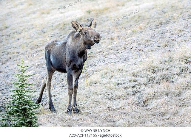 4-month old moose calf (Alces alces), Canadian Rockies, Alberta