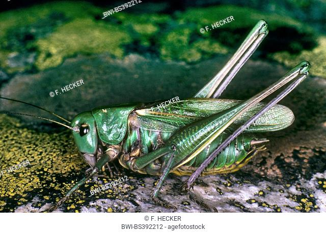 Heath Bush-Cricket, Heath Bush Cricket (Gampsocleis glabra, Decticus alberti, Gampsocleis annae, Gampsocleis podolica), male, Germany