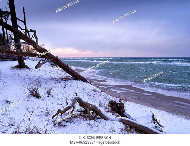 Germany, Mecklenburg-Western Pomerania, Western Pomerania Lagoon Area National Park, winter day on the West beach of Darss, fallen pine
