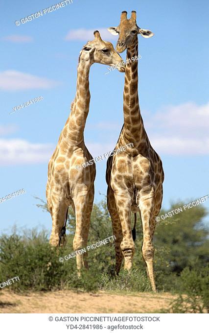 Giraffe (Giraffa giraffa giraffa) - Two males, Kgalagadi Transfrontier Park, Kalahari desert, South Africa/Botswana