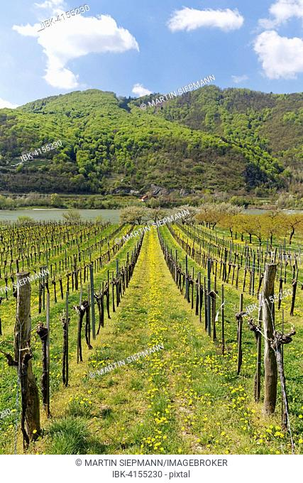 Vineyards in spring, Oberarnsdorf, Wachau, Lower Austria, Austria