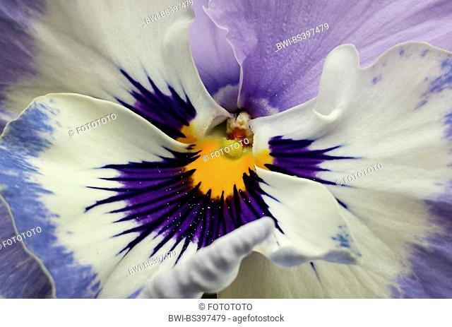 Pansy, Pansy Violet (Viola x wittrockiana, Viola wittrockiana, Viola hybrida), detail of flower, Germany