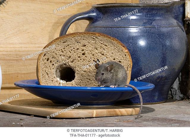 mouse eats bread
