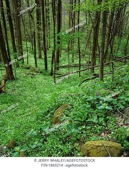 Trillium, Spring, Great Smoky Mountains National Park, TN