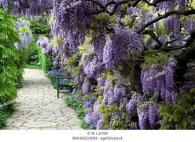 Chinese wisteria (Wisteria sinensis), blooming with a garden bench, Germany