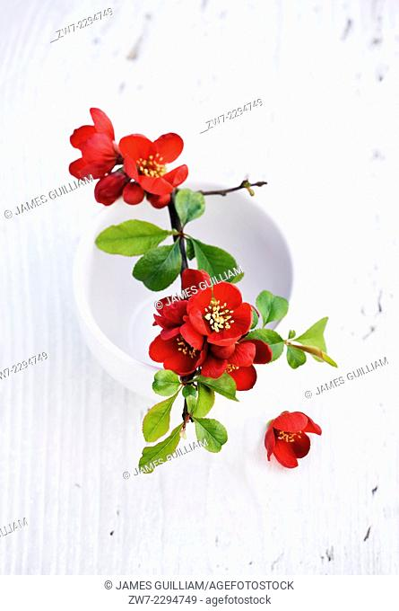 Chaenomeles flowering quince resting across white ceramic container