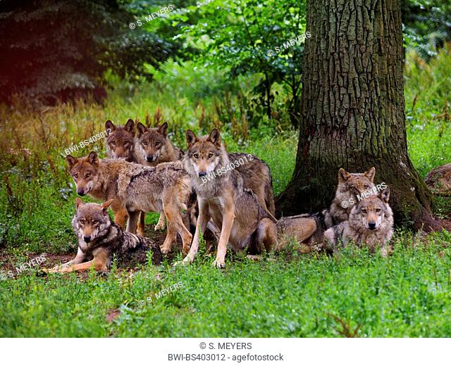 European gray wolf (Canis lupus lupus), pack of wolves, Germany, Bavaria