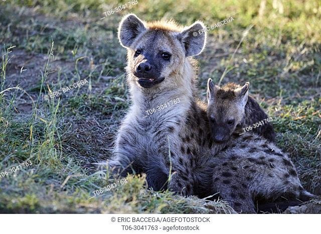Spotted hyena (Crocuta crocuta) with pup playing, Masai Mara National Reserve, Kenya, Africa