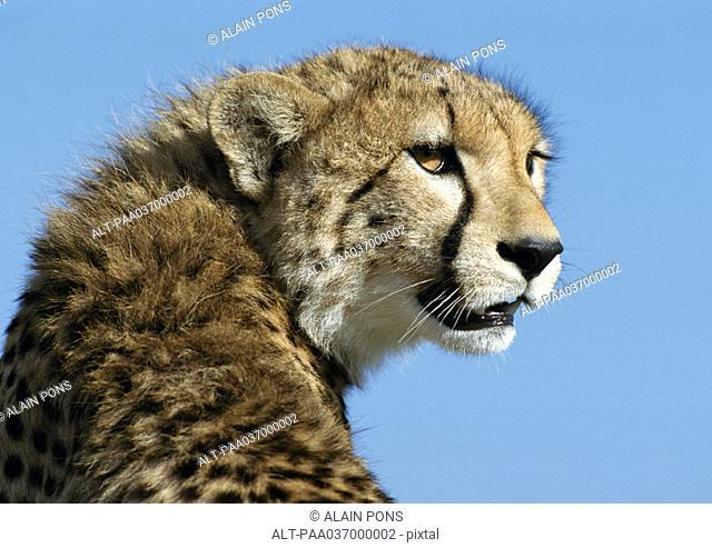 Africa, Kenya, cheetah, focus on head