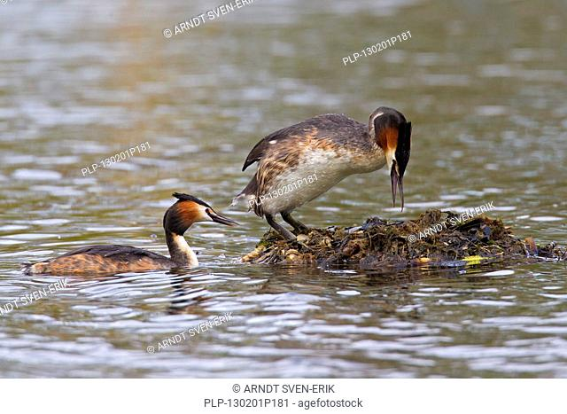 Great Crested Grebe Podiceps cristatus pair entering nest made of rotten vegetation in lake