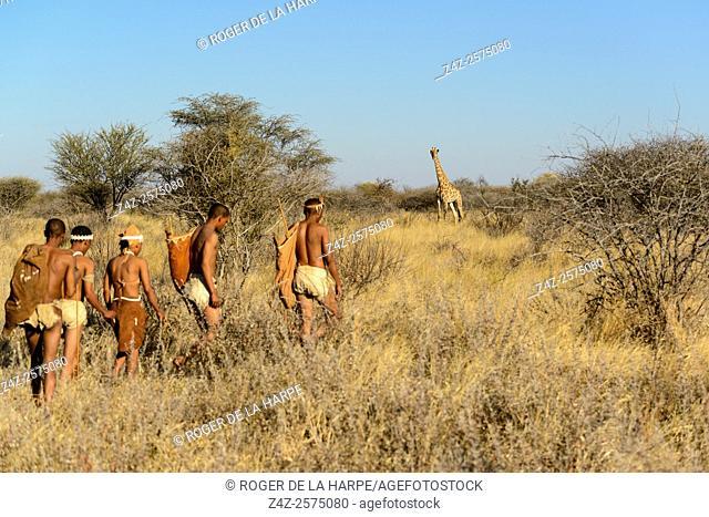 San or Bushman people stalking a South African giraffe or Cape giraffe (Giraffa camelopardalis giraffa). Haina Kalahari Lodge. Botswana